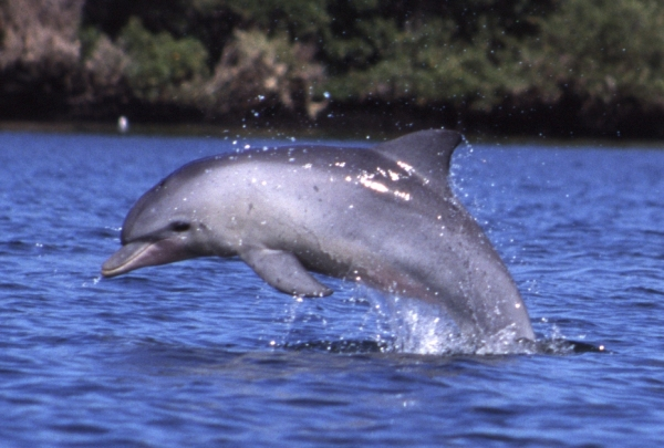 Tursiops_aduncus,_Port_River,_Adelaide,_Australia_-_2003